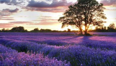 lavender field for essential oils